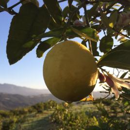 Meyers Lemons – 35 lbs